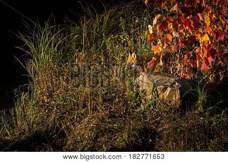 Red Fox (Vulpes vulpes) Peers Out From Grass - captive animal