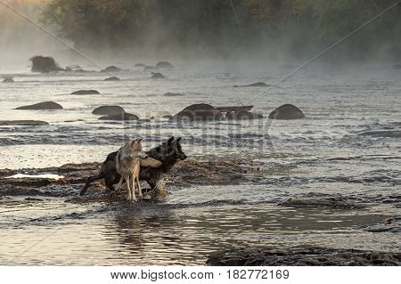 Grey Wolves (Canis lupus) Look and Move Right in River - captive animals