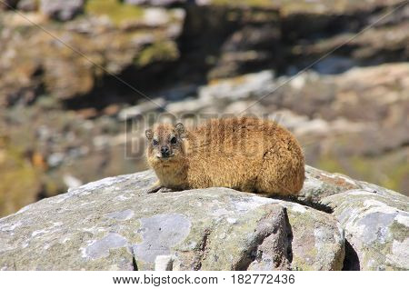 Rock Hyrax in National Park. This small animal is relative to elephant. The Cape of Good Hope, Cape Town, South Africa.