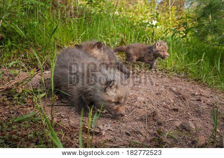 Red Fox Kits (Vulpes vulpes) Explore Densite - captive animals