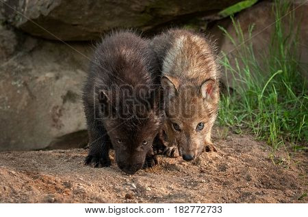 Grey Wolf (Canis lupus) Pups Noses Down - captive animals