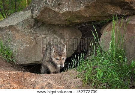 Grey Wolf (Canis lupus) Pup Crawls Out of Den - captive animal