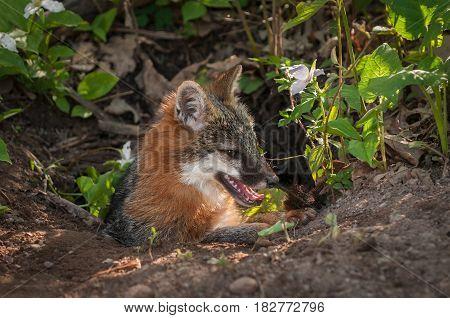 Grey Fox Vixen (Urocyon cinereoargenteus) Sits to Right in Den - captive animal