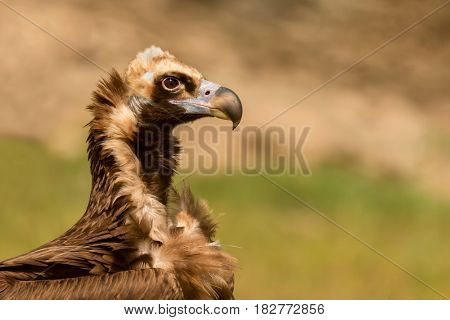 Portrait of a black vulture in the nature