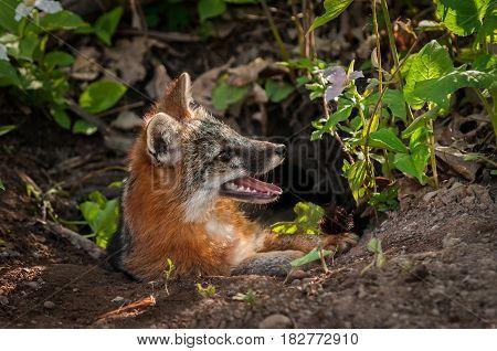 Grey Fox (Urocyon cinereoargenteus) Vixen Looks Up at Den - captive animal