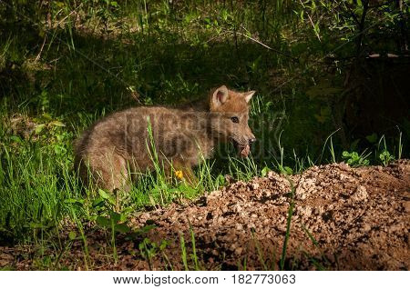 Grey Wolf (Canis lupus) Pup With Piece of Meat - captive animal