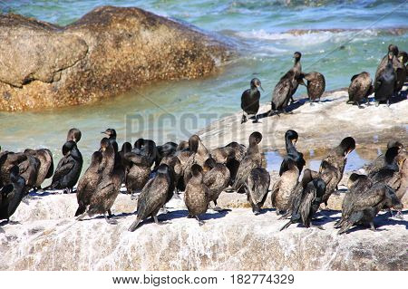 Cormorant birds at Boulders Beach. The Cape of Good Hope, Cape Town, South Africa.
