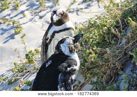 Two african penguins are enjoying the sun. Boulders Beach in Cape Town, South Africa.