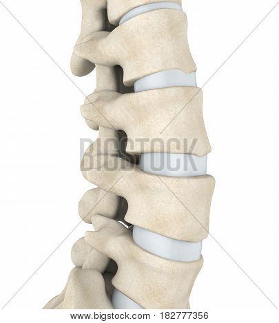 Human Spine Anatomy Illustration . 3D render