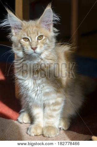 Portrait of cute cream maine coon kitten.