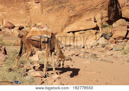 Camel is tired up in Lawrence Springs next to the Chazly inscriptions estimated at 3000 years old. Left side. Wadi Rum valley in Jordan.