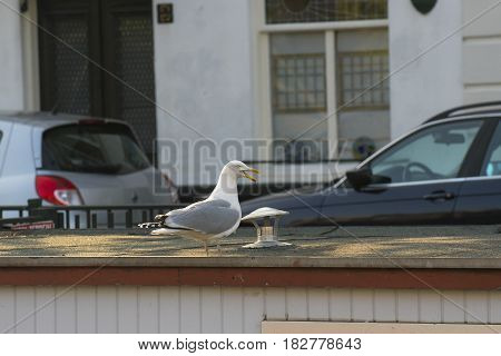 European Herring Gull (Larus argentatus) adult standing on the Roof of a Houseboat in a Town Canal in the Hague the Netherlands