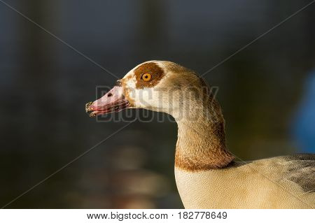 Egyptian Goose (Alopochen aegyptiacus) adult standing on the Quayside portrait