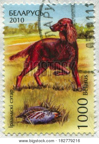 GOMEL, BELARUS, APRIL 20, 2017. Stamp printed in Belarus shows image of  The Irish Setter, circa 2010.