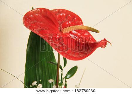 close photo of crimson bloom of anthurium