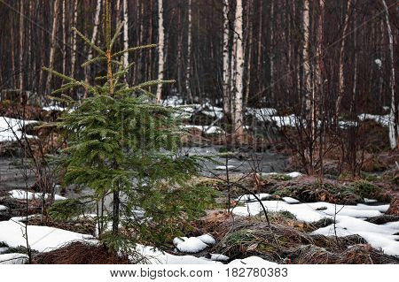Spring landscape. A small tree in the forest. Russia. Karelia