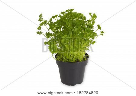 Fresh Parsley in pot isolated on white background