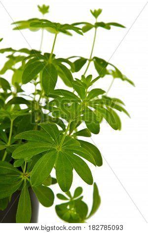 Woodruff herbs in detail on bright background