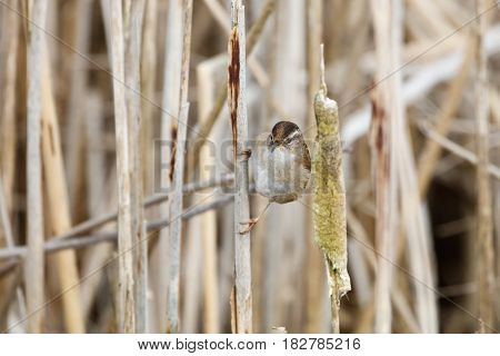 Brown Marsh Wren at Vancouver BC Canada