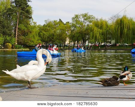 CLUJ-NAPOCA ROMANIA - APRIL 17 2017: White swans preen themselves on the dock while people pedal swan boats in the background in central park lake.
