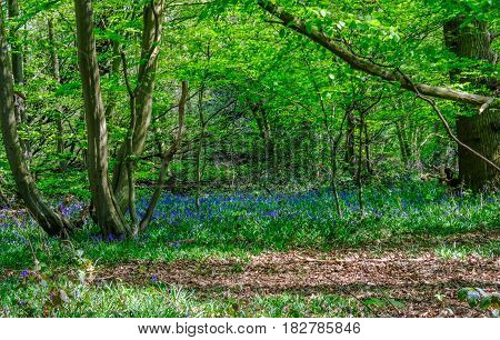 Bluebells in the woods in Essex countryside in springtime