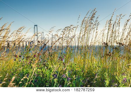 Sea view through the grass and wild flowers, Denmark