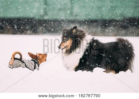 Two Funny Dogs Play Together. Funny Dog Red Brown Miniature Pinscher Pincher Min Pin And Shetland Sheepdog, Sheltie, Collie Playing Outdoor In Snow, Winter Season. Playful Pet Outdoors.