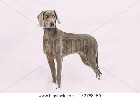 Beautiful Weimaraner Dog Standing In Snow At Winter Day.  Large Dog Breds For Hunting. The Weimaraner Is An All-purpose Gun Dog.