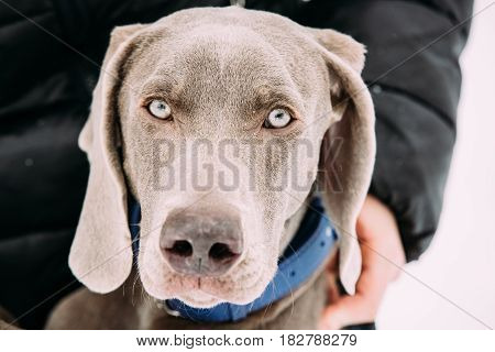 Close Portrait Of Beautiful Weimaraner Dog. The Weimaraner Is An All-purpose Gun Dog.