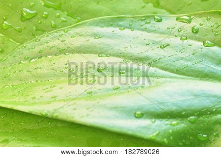 green plant leaf with water drops after rain nature background