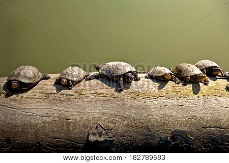 Turtles resting on a log on a sunny day.