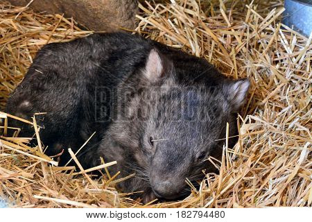 Ballarat, Australia - March 18, 2017. Famous Patrick the Wombat at Ballarat Wildlife Park, exactly one month before his death on April 18. Patrick, at 32, was known at the oldest captive wombat.