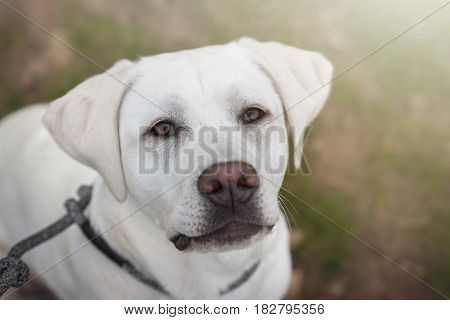 the face of a cute white labrador retriever dog with big brown eyes
