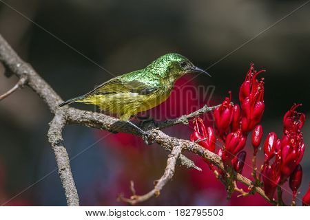 Collared sunbird in Kruger national park, South Africa ; Specie Hedydipna collaris family of Nectariniidae