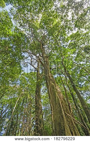 Looking up into the Rain Forest Canopy in Tortuguero National Park in Costa Rica