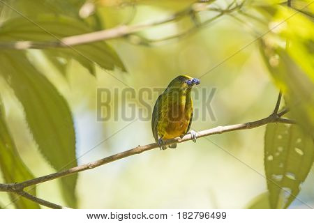 Olive Backed Euphonia eating in a Tree in Tortuguero National Park in Costa Rica
