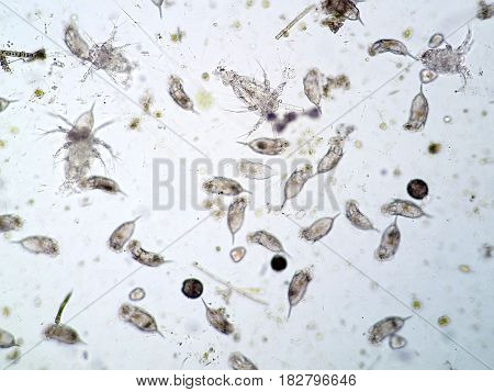 Freshwater aquatic plankton under the microscope view