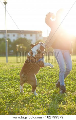 young Girl playing with English Bulldog at park
