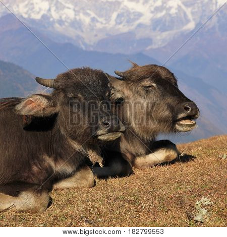 Water buffalo babies resting on a hill in Nepal.