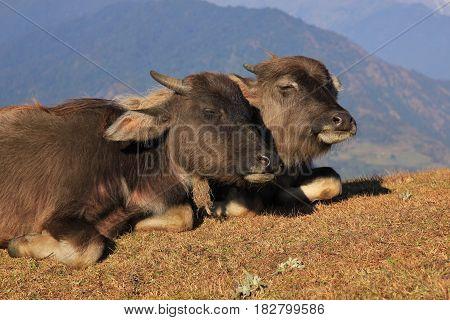 Happy water buffalo babies resting on a hill in Nepal.