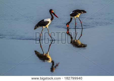Saddle-billed stork in Kruger national park, South Africa ; Specie Ephippiorhynchus senegalensis family of Ciconiidae