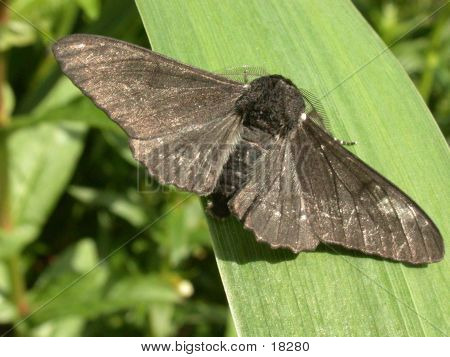 Melanic Peppered Moth
