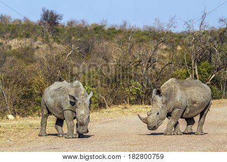 Southern white rhinoceros in Kruger national park, South Africa ; Specie Ceratotherium simum simum family of Rhinocerotidae