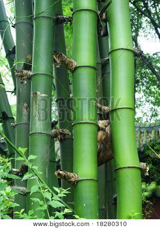 green bamboo forest : Bambusa sinospinosa McClure poster