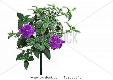Purple Melastoma flower plant isolated on white background