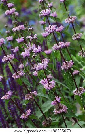 Lilac- purple Phlomis Phlomis cashmeriana wild flower plant