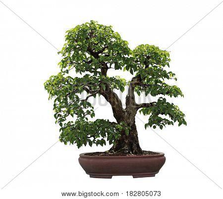 Carpinus turczaninowii Turczaninow's Hornbeam bonsai tree isolated on white background