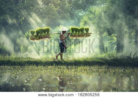 Rice farming Farmers grow rice in the rainy season. They were soaked with water and mud to be prepared for planting.