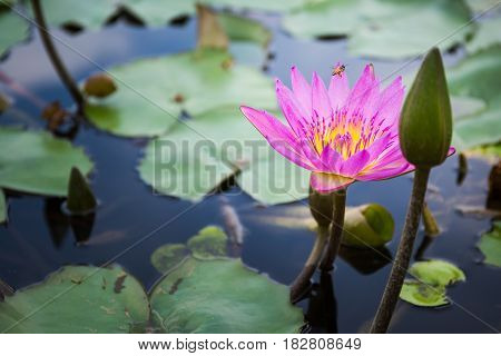 Bee Is Finding Nectar From Lotus