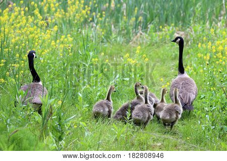 A family of Canada Geese out for a stroll in a meadow.